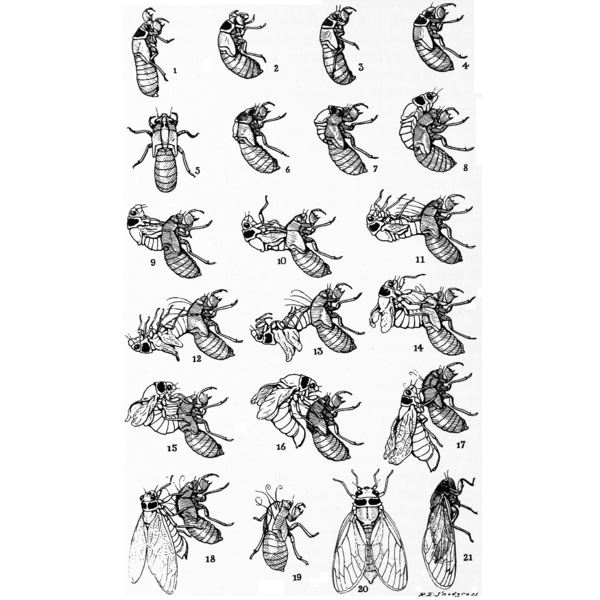 Cicada Life Cycle Including Cicada Drawings