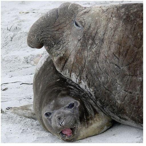 Largest Elephant Seal
