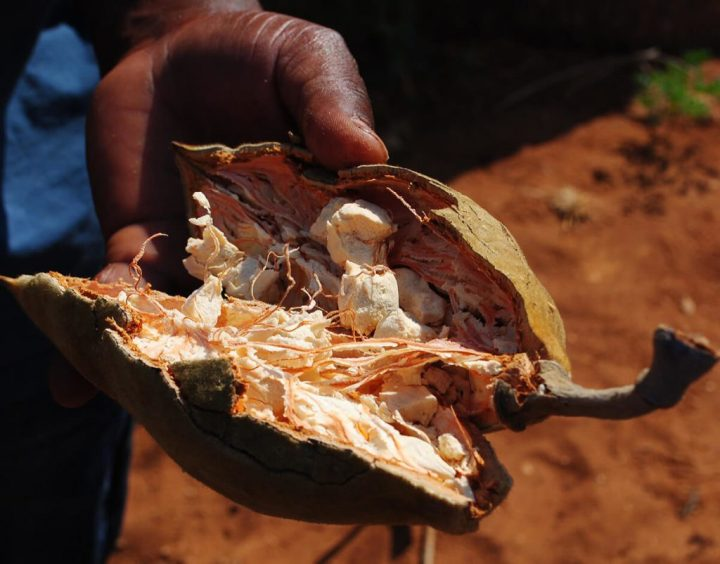 los baobabs desaparecen y sus frutas con ellos
