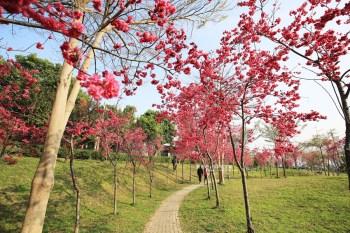 台中東勢│東勢河濱公園-對面小公園櫻花盛開