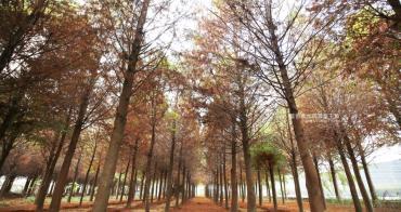 台中新社│新社水井落羽松森林-整齊乾淨落羽松林,已鋪上落葉紅毯