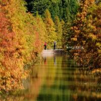 苗栗三灣│落羽松-免費參觀,台三線101K漸層美景,季節限定三百多棵湖中落羽松拍好拍滿