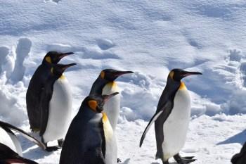 『北海道』大開眼界的動物園-北海道旭川動物園(企鵝散散步)