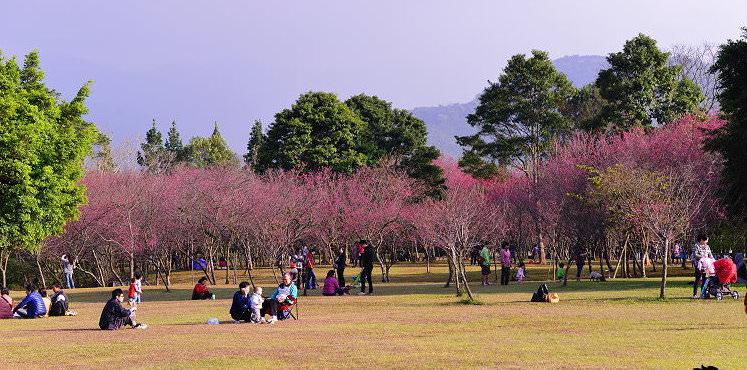 《 南投櫻花野餐 》2019暨南大學櫻花季。席座賞櫻就像到日本一樣的賞櫻感受 - 寶寶溫旅行親子生活