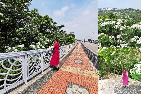 苗栗桐花景點》銅鑼好客公園賞桐花, 從橋上看滿山的四月雪五月雪