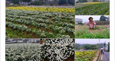[ 苗栗賞花去 ] 銅鑼九湖杭菊花季~遍地十一月雪