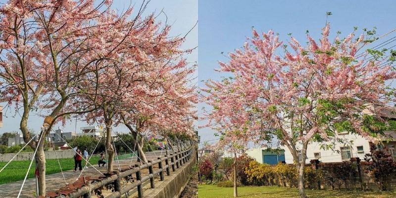金砂村花旗木步道 粉紅秘境美炸了