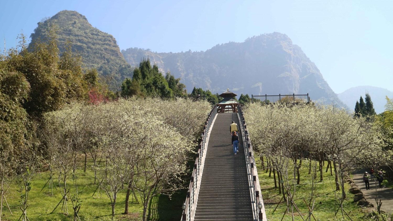 嘉義 寒溪呢 深山秘境 滿山櫻花盛開之地