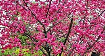 『櫻花前線』后里泰安派出所櫻花季,最輕鬆的賞櫻點。(2/12花況)