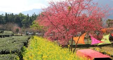 南投櫻花季 | 2018草坪頭櫻花粉紅風暴,秀麗山景與怒放櫻花美到炸~