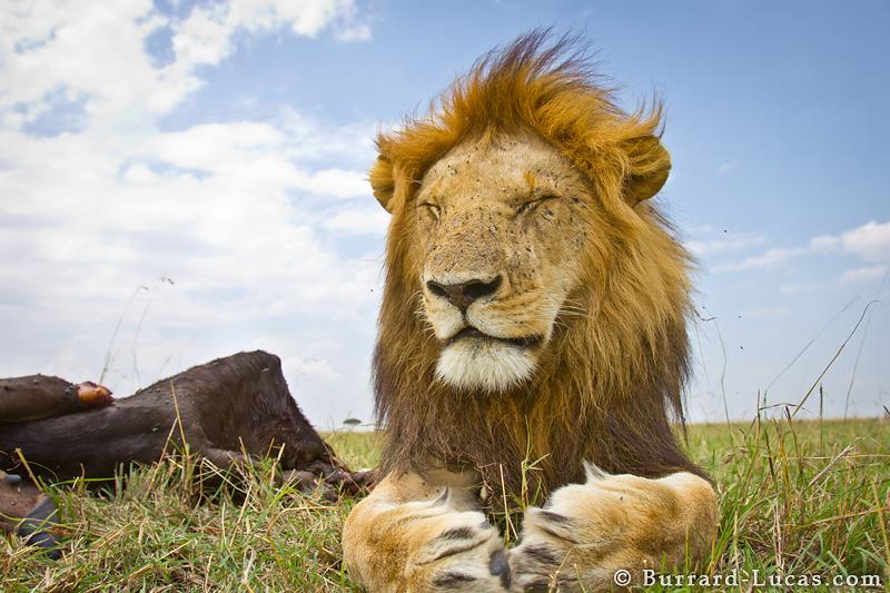 Sleeping Lion Burrard Lucas Photography
