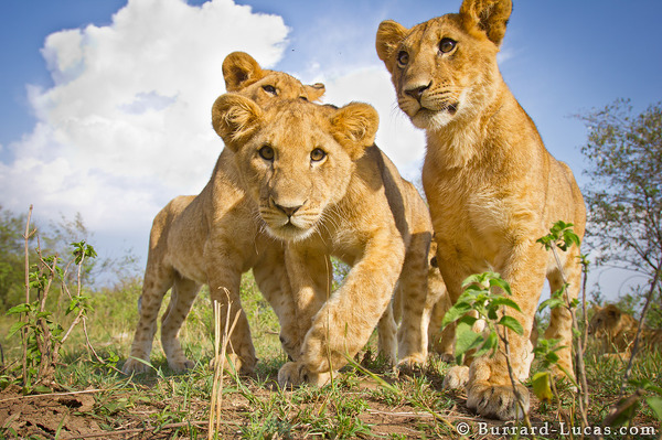 Cute Cats Image Wallpaper Three Lion Cubs Burrard Lucas Photography