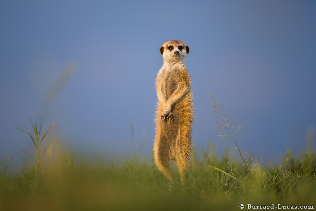 Image result for meerkats