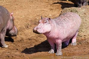 Pink hippo in Kenya
