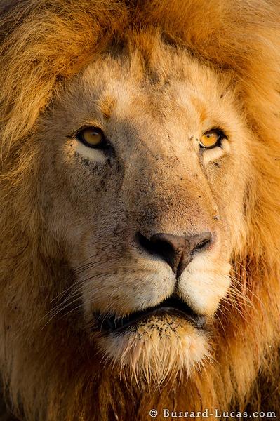 Male Lion Portrait Burrard Lucas Photography