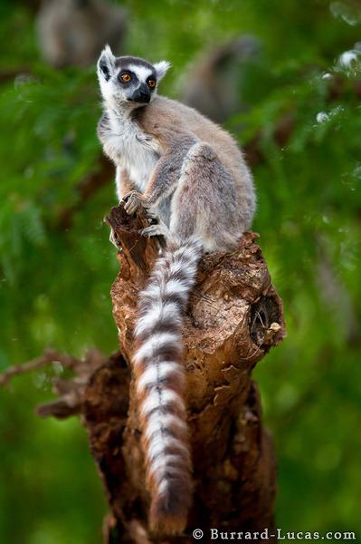 Ring -tailed Lemur