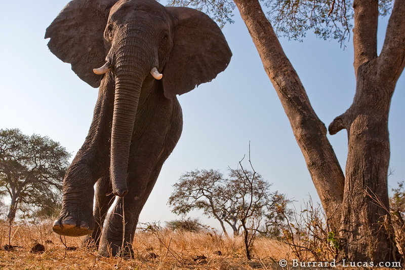Charging Elephant Burrard Lucas Photography