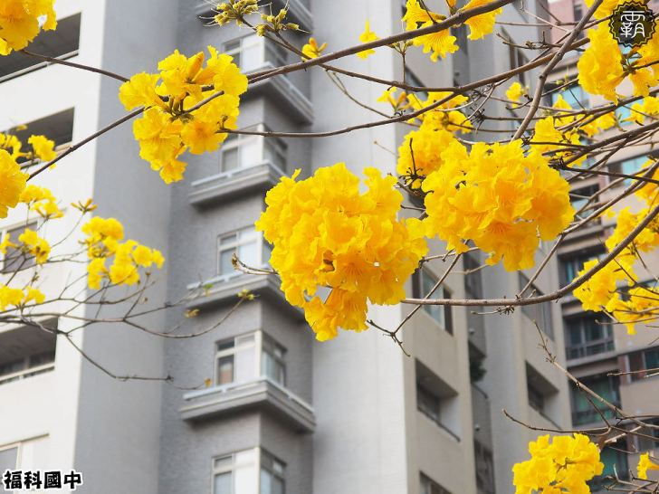 20180307230456 35 - 一次能捕捉到盛開的櫻花與黃花風鈴木耶~市區內賞花小確幸~