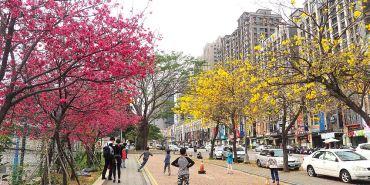 <台中景點> 中科商圈一覽黃花風鈴木與櫻花盛開,福科國中旁有紅黃相襯美麗景致!