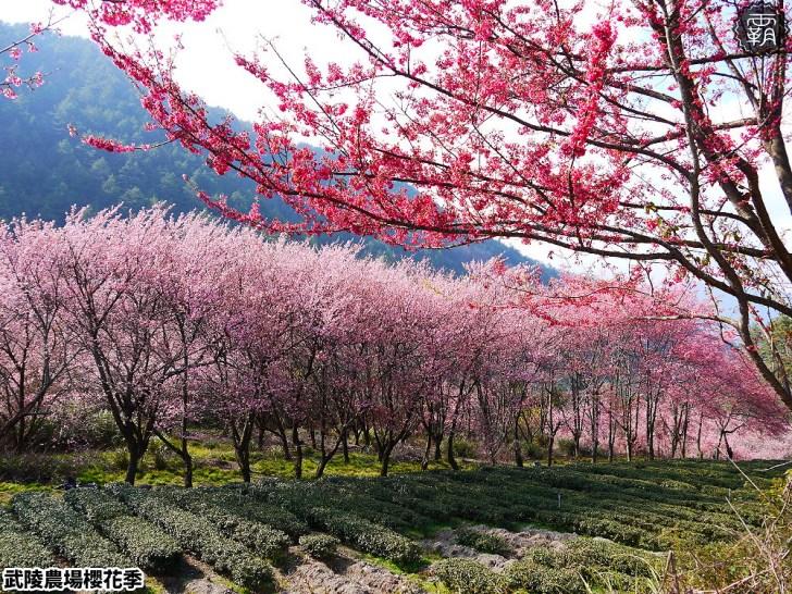 20190117223053 23 - 2019武陵農場櫻花季,賞櫻專車懶人包,含管制日期、各路線車票資訊。