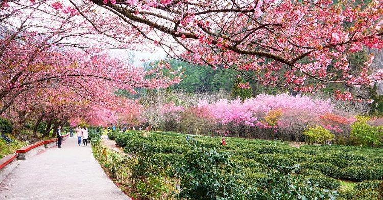 <台中和平> 武陵農場櫻花季,賞櫻專車全路線,含管制日期、專車訂票方式。