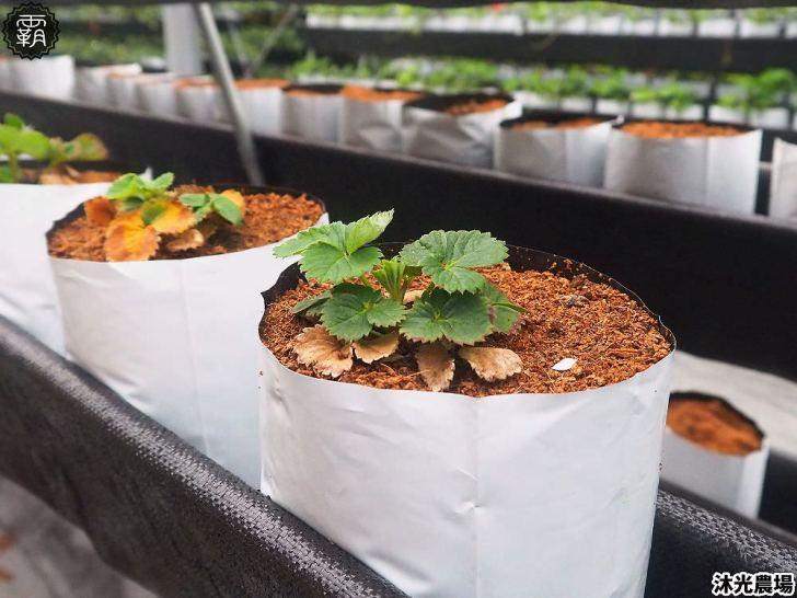 20190405214339 85 - 白草莓、水蜜桃草莓好特別!沐光農場,溫室高架草莓園,採草莓超舒適!