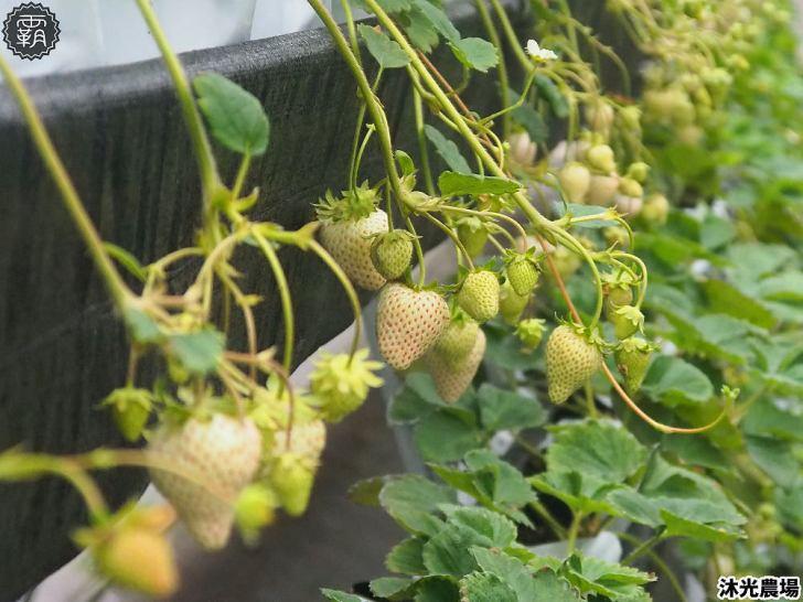 20190405214541 46 - 白草莓、水蜜桃草莓好特別!沐光農場,溫室高架草莓園,採草莓超舒適!