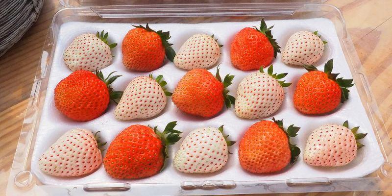 <台中清水> 沐光農場,白草莓、桃薰草莓特有品種,溫室草莓園環境超完善,下雨天也不擔心!