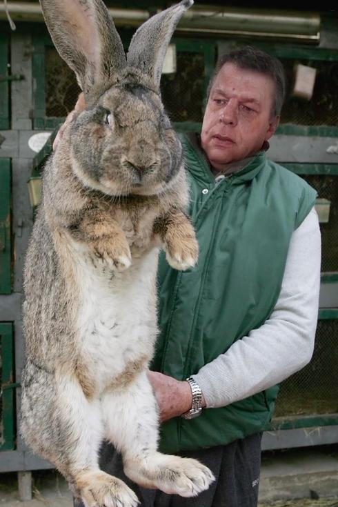 Flemish Bunny For Sale : flemish, bunny, Giant, Rabbits, Inspired, Peter, Jackson, Hobbit:, Unexpected, Journey