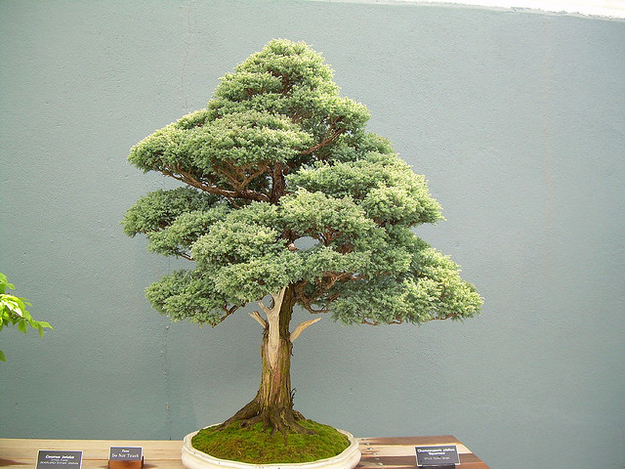 La semilla de bonsai no es diferente a un árbol de tamaño completo. Las restricciones en el tamaño de la olla limitan el alcance de las raíces por lo que el árbol no puede crecer a su máximo potencial. La lección: nunca te limites!