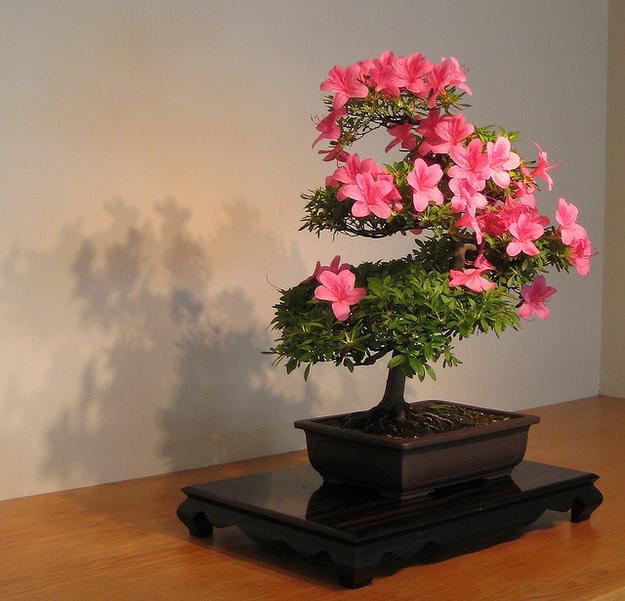 Ooo! Ooo! Podrías decir ... & quot; los bonsai te quieren. & Quot; AUGE.