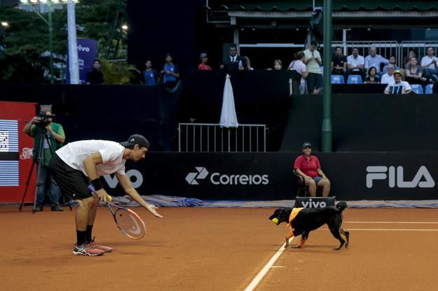 Los perros rescatados de refugios en Sao Paulo, fueron capacitados para participar en un partido de tenis de exhibición el jueves entre Roberto Carballés de España y Gastao Elias de Portugal.