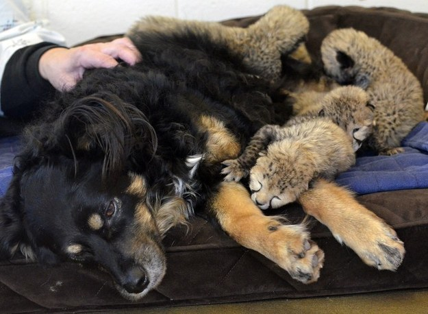 A dog is helping to care for a litter of baby orphaned cheetahs at an Ohio zoo and his first assignment was to let them crawl all over him.
