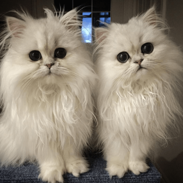 Meet Milk and Oreo, sisters who happen to be two of the fluffiest, cutest, cats on the planet.