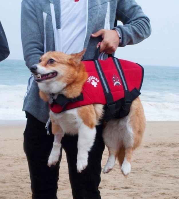 And a brave corgi lifeguard on patrol...