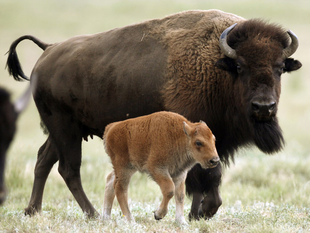 """The visitors were cited by rangers """"for placing a newborn bison calf in their vehicle and transporting it to a park facility because of their misplaced concern for the animal's welfare,"""" said the park in a statement."""