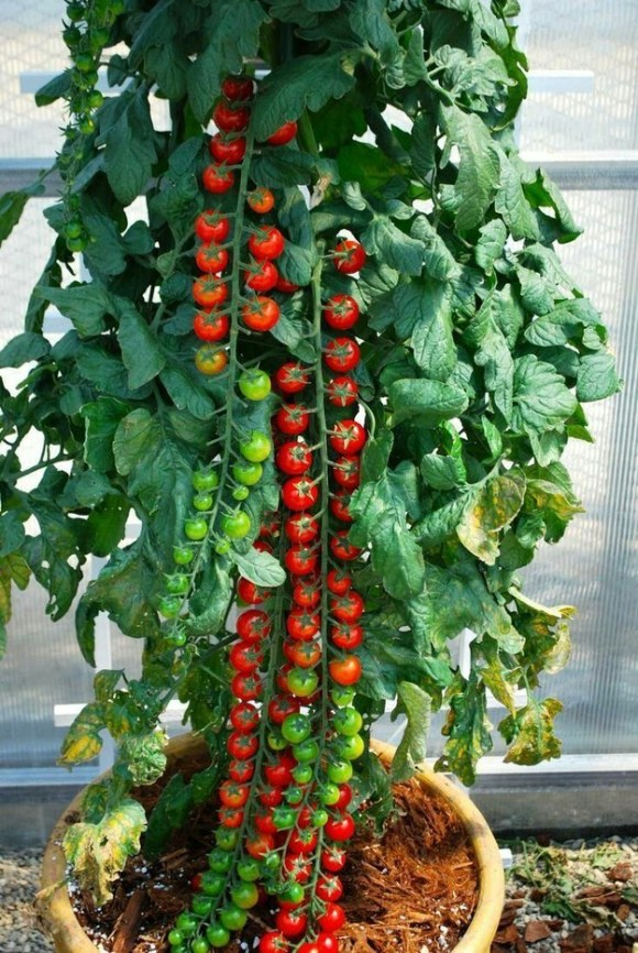 These tomatoes that prove you should only eat food directly off plants.