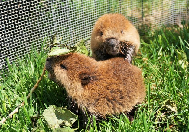 """""""Beaver kits are fairly social with each other so they spend a lot of time wrestling with each other when they're not sleeping,"""" she said. Beaver wrestling!"""