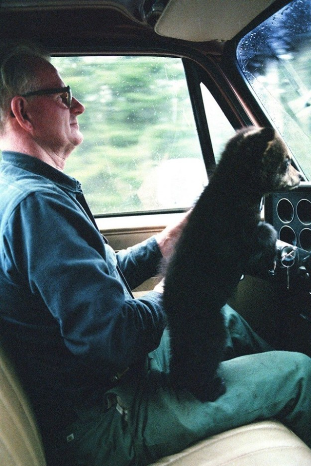 This baby bear learning how to drive: