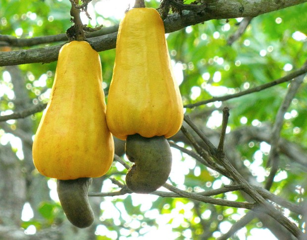 Cashews grow out of these weird apple-like things and have toxic shells, which is why you'll never see unshelled cashews at the store.