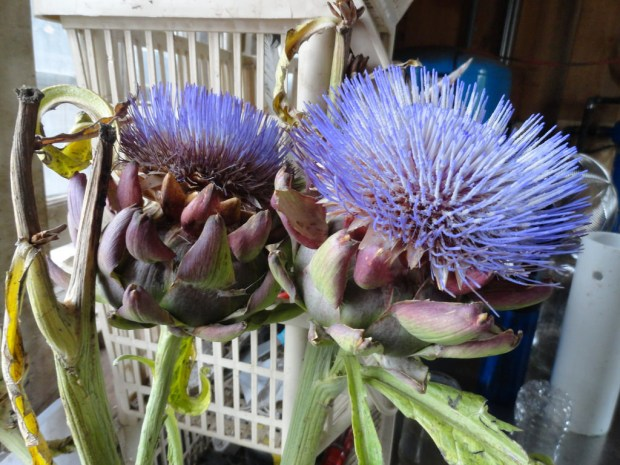 Artichokes are flowers — the part we eat is the bud of the flower — and they produce these beautiful blossoms when they bloom, rendering the rest of the plant inedible.