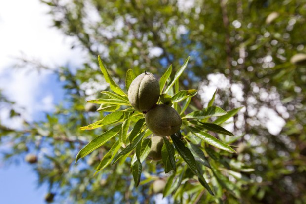 Almonds are the seeds of this tree. They grow in woody shells.