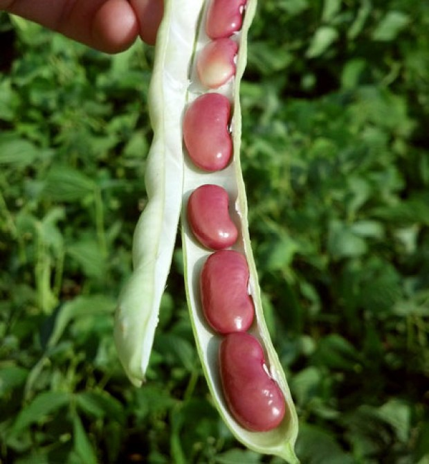 Kidney beans grown in pods, obvi.