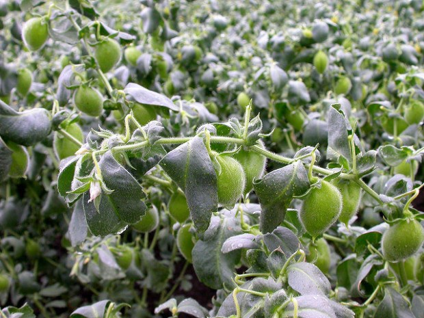 Chickpeas grow in low plants in these little green shells.