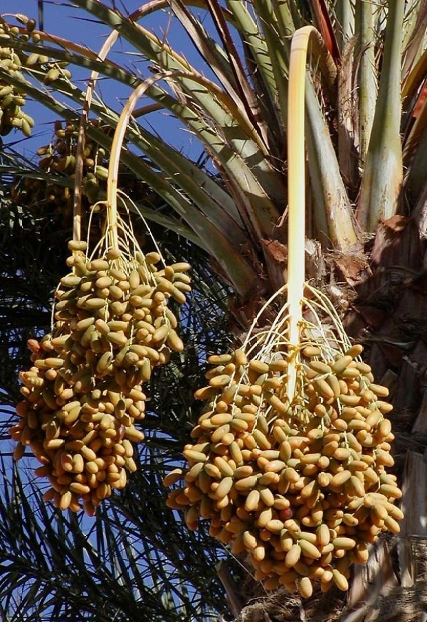 Dates grow in large, pendulous clumps on date palm trees.