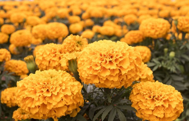 Cempazuchil flowers (marigolds) are believed to guide the spirits back to Earth.