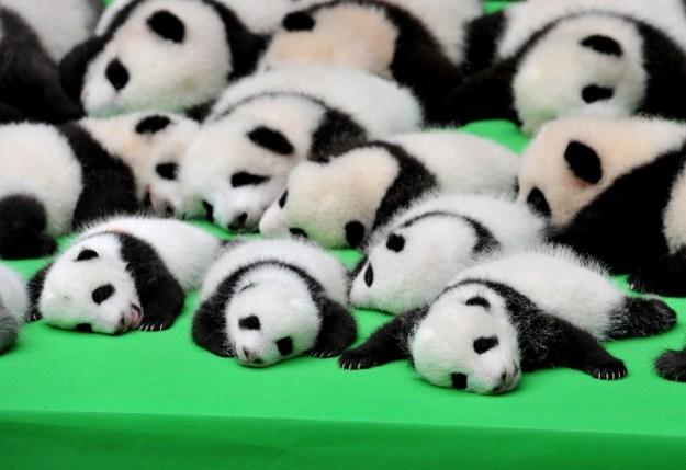 Hallo! Hier sind 23 Baby-Pandas.