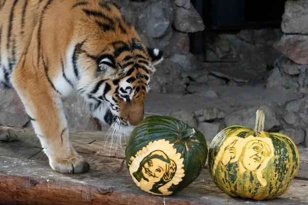 Yunona the Amur Tiger: Hillary Clinton Wins!