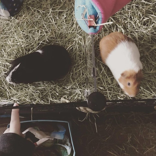 """""""We currently have two guinea pigs and taking care of them and playing with them helps me more than anything else in this world. They help my PTSD, but also help my pain conditions because I take better care of myself to take care of them.""""—kirstenw5"""