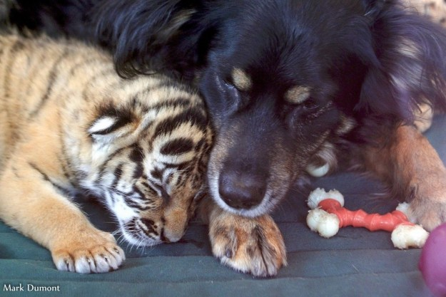 Blakely the Australian shepherd has been called back into dad duty at the Cincinnati Zoo. He is caring for three rare Malayan tiger cubs who were ignored by their mother after their birth.